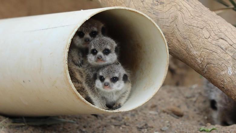 Foto: Tiga bayi meerkat di kebun binatang (National Zoo & Aquarium)