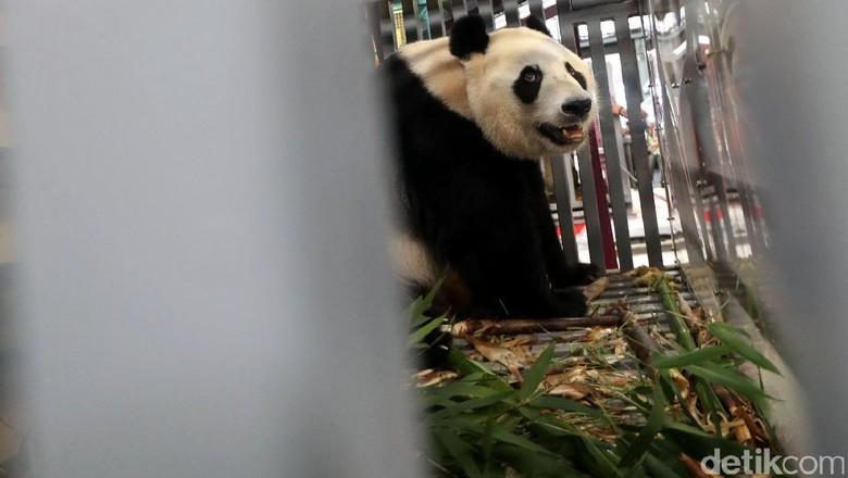 Foto: Ni Hao! 2 Panda Lucu China Mendarat di Jakarta