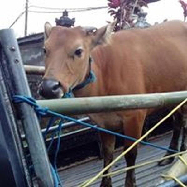 Bukan hanya binatang peliharaan seperti anjing, kucing dan burung. Ternak sapi, ayam dan kaming pun di tinggalkan begitu saja (Bali Dog Adoption Rehabilitation Centre/Facebook)