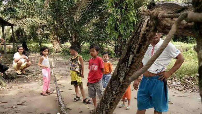 Bagai Film Anaconda, Pria Gelut Lawan Ular Piton di Riau
