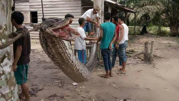 Bagai Film <i>Anaconda</i>, Pria Gelut Lawan Ular Piton di Riau