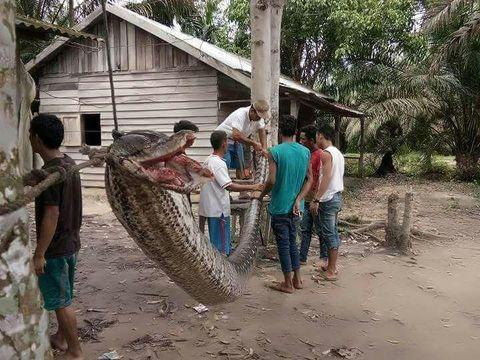 Pria Lawan Ular Piton 7 Meter di Indragiri Hulu, Riau