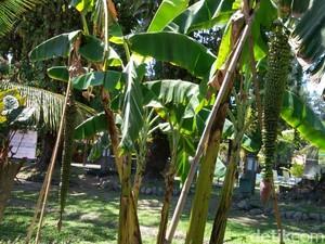 Ini Asal Usul Pohon Pisang Sewu di Hotel Singgasana