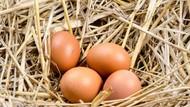 Peneliti Jepang Kembangkan Ayam Penghasil Telur dengan Kandungan Obat Penting