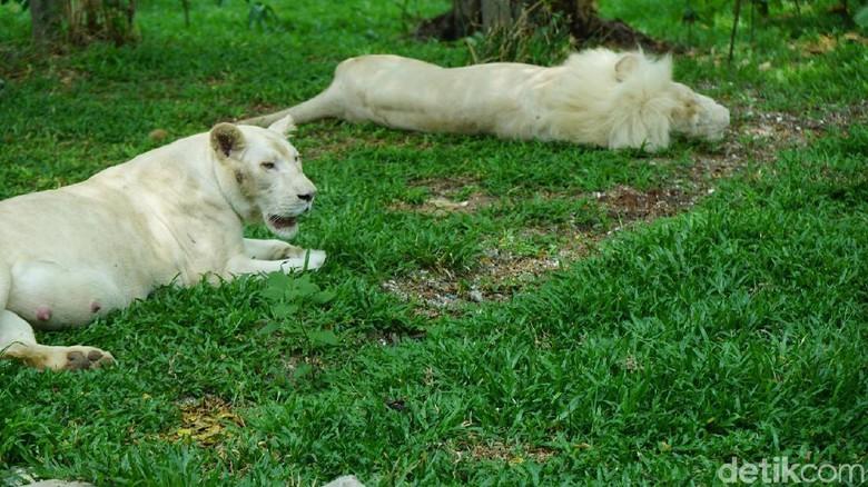 Singa putih di Faunaland (Shinta/detikTravel)