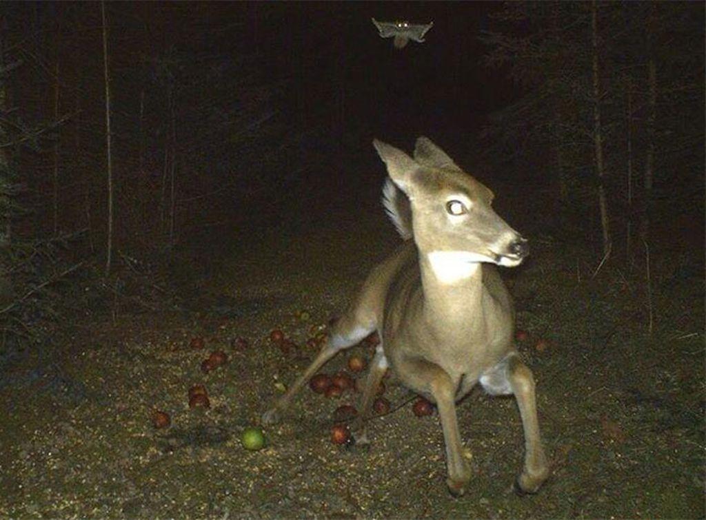 Jebakan kamera atau dikenal Trail Camera, biasa digunakan oleh para pemburu dan juga fotografi satwa liar. Ini rekaman potret rusa dikejar burung hantu. (Foto: boredpanda)