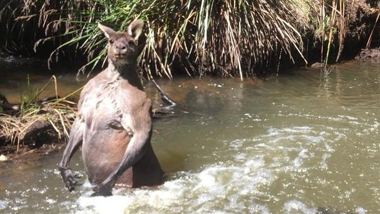 Ketika Seorang Pria dan Anjingnya Ditantang Seekor Kanguru