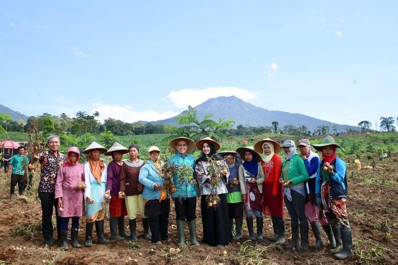 Bupati Anas Ikut Panen Perdana Kentang di Lereng Gunung Ijen