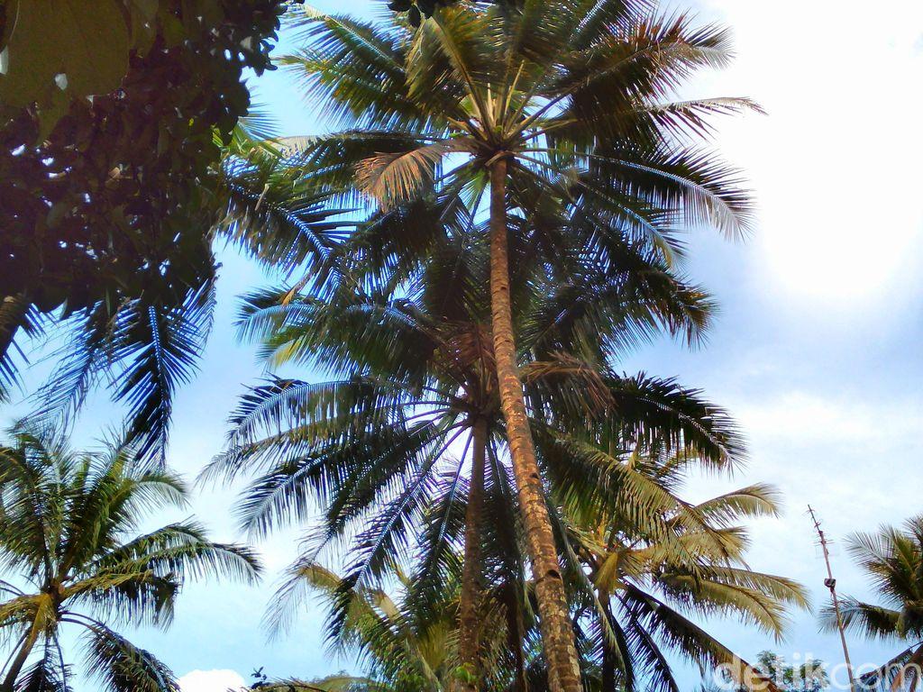 penyadap nira kelapa tewas terjatuh dari pohon