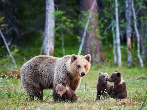 Kelaparan, 3 Beruang Masuk Restoran dan Makan Bahan Pizza!