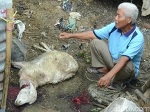 Kambing Milik Warga Diserang Kawanan Anjing Lapar di Rembang