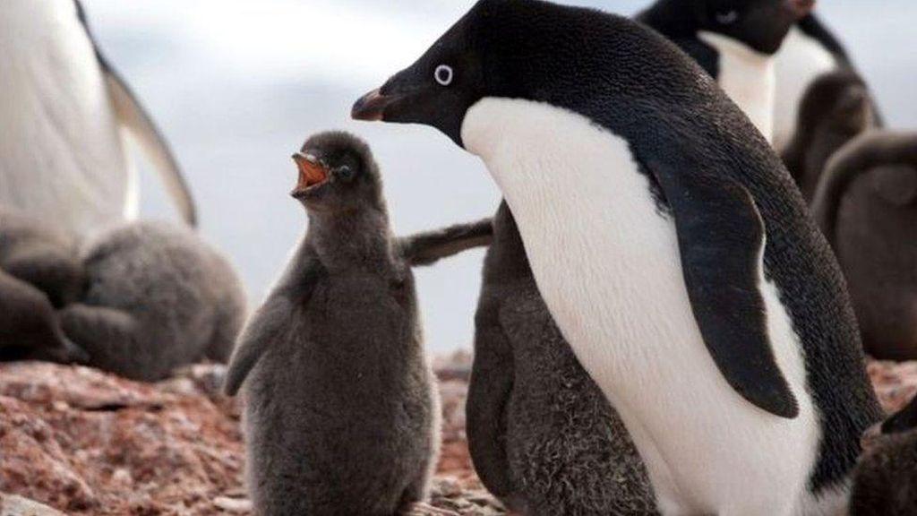 Banyak Penguin Mati dalam Bencana Musim Kawin di Antartika