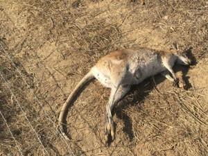 Pembunuhan Massal Kanguru Kecil di Queensland Dikecam
