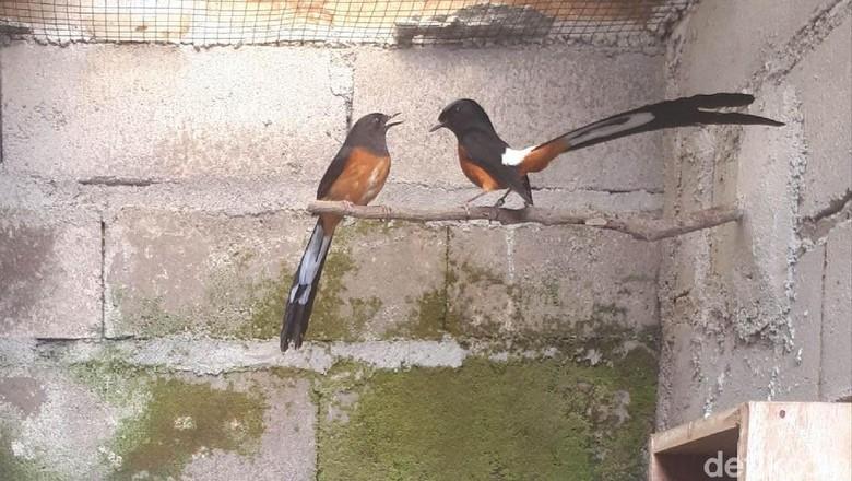 Puluhan Burung Murai Batu di Wonosobo Disikat Pencuri