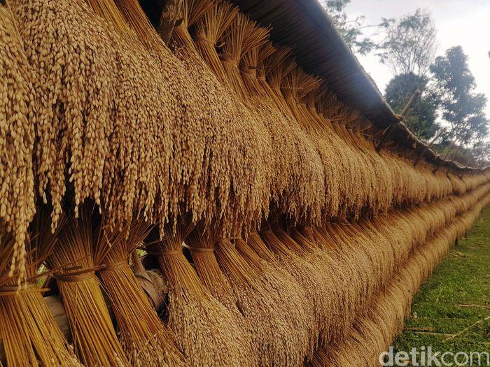 Kearifan lokal adat Baduy ternyata memiliki banyak cerita. Adat yang sejatinya penjaga alam di wilayah Banten Selatan ini, juga memiliki konsep ketahanan pangan yang diajarkan turun-temurun lewat leuwit atau lumbung padi.