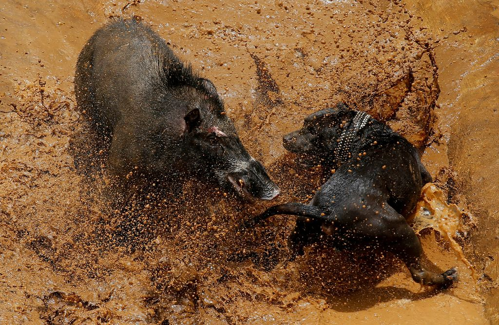 A dog and wild boar fight during a contest, known locally as 'adu bagong' (boar fighting), in Cikawao village of Majalaya, West Java province, Indonesia, September 24, 2017. REUTERS/Beawiharta         SEARCH