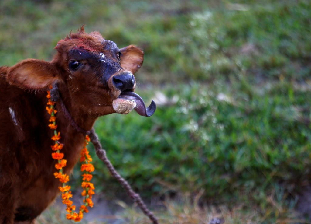 A young Hindu priest attempts to crawl under a cow during a religious ceremony celebrating the Tihar festival, also called Diwali, in Kathmandu, Nepal October 19, 2017. REUTERS/Navesh Chitrakar