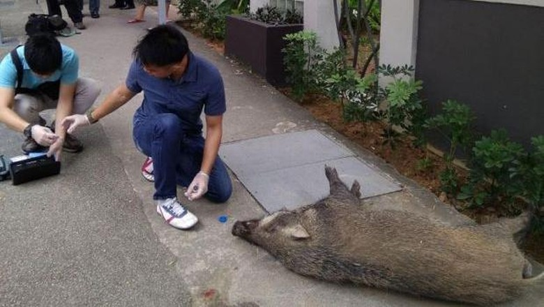 Bikin Kaget! Babi Hutan Serang Warga di Tengah Kota Singapura