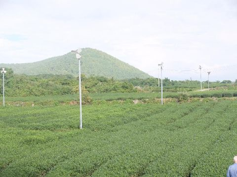 Indahnya O'sulloc , Kebun Teh Hijau Milik AmorePacif di Pulau Jeju