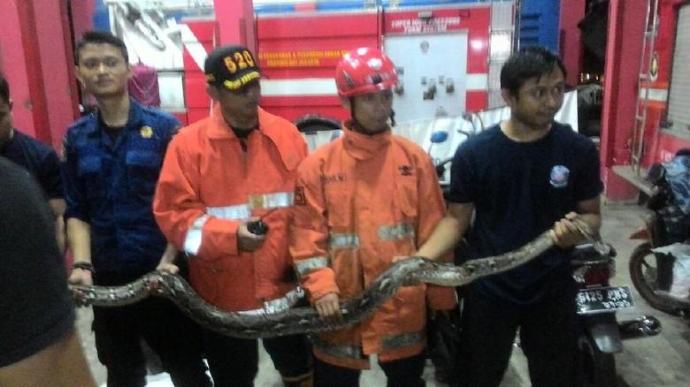 Petugas Damkar Jaktim Evakuasi Ular Sanca 3 Meter di Minimarket