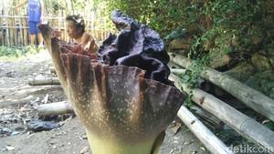 Melihat Suweg, Bunga  Bangkai yang Tumbuh di Pangkah Bantul