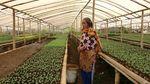 Melihat Pekerja Kebun Bibit di Maribaya Bandung