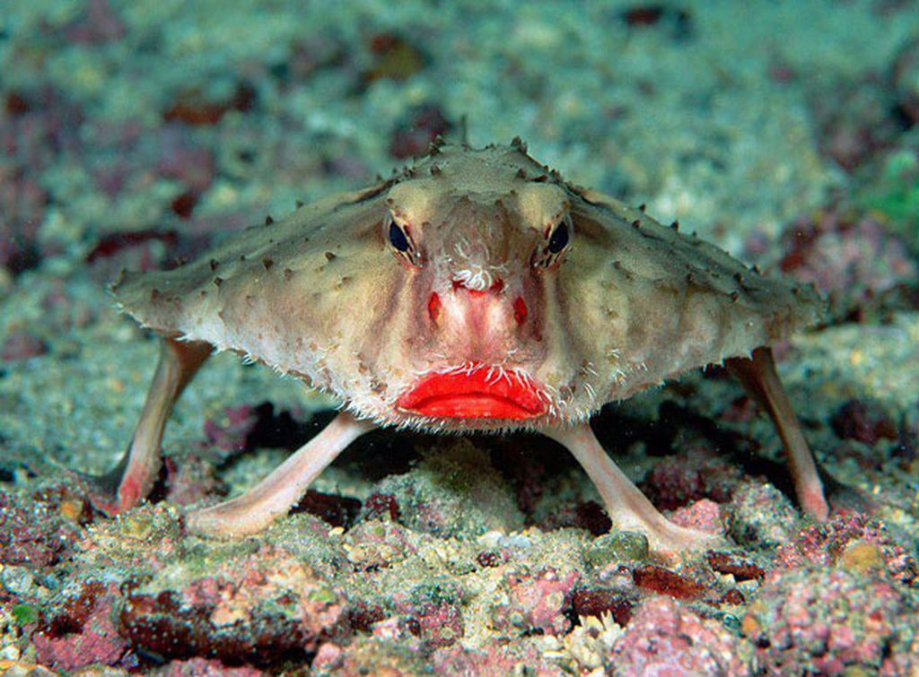 Satwa laut ini bernamaRed-lipped Batfish atau ikan kelelawar memiliki wajah unik terutama di bagian bibirnya yang terlihat merah merona.Jenis ini dapat ditemukan di Samudera Pasifik, Kepulauan Galapagos. Meski berjenis ikan, namun ia bukan perenang handal. Dengan menggunakan siripnya ikan kelalawar ini dapat berdiri di dasar laut dan berjalan menggunakan ujung-ujung siripnya. (Foto: Boredpanda)