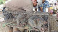 Diyakini Bikin Awet Muda, Wanita Vietnam Konsumsi Daging Tikus!