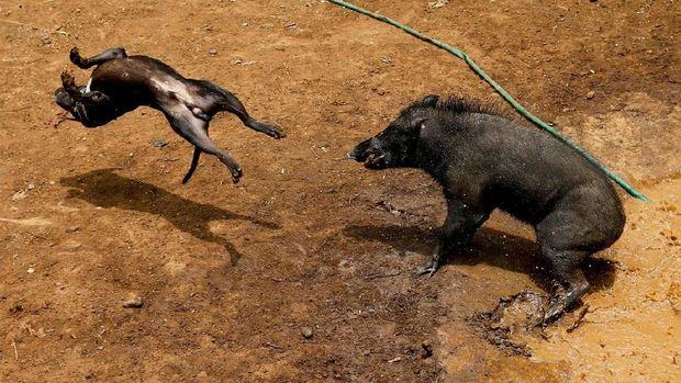 Anjing dan babi hutan akan dibiarkan bertarung sampai terluka