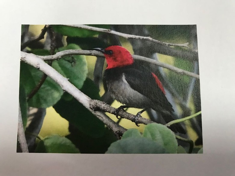 Burung Pengisap Madu yang Dinamai Iriana Jadi Ikon Satwa Nasional 2019