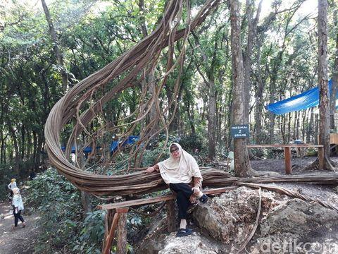 Pengunjung berswafoto di salah satu akar pohon trinil/