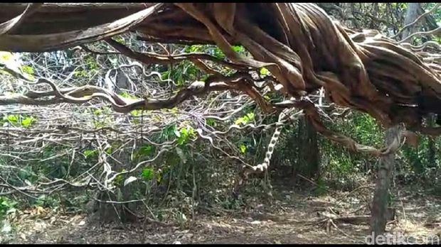 Salah satu akar pohon 'Harry Potter' saling melilit/