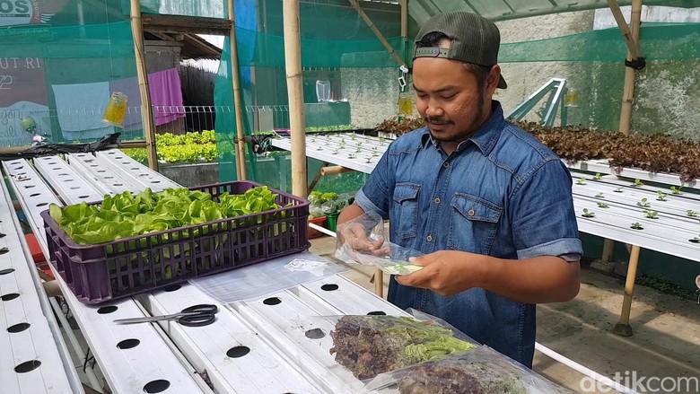 Sukaponik, Sayuran Hidroponik Sukabumi yang Berhasil Masuk Mal