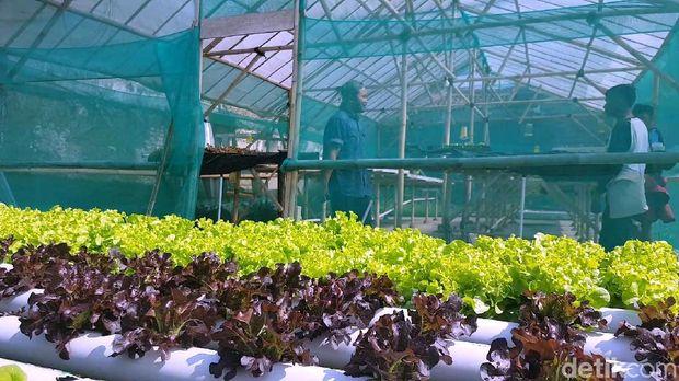 Sayuran yang bisa ditanam menggunakan teknik hidroponik antara lain berjenis sawi-sawian seperti Pakcoy, Selada, Kailan hingga sayuran yang banyak dikenal seperti Kangkung dan Bayam.