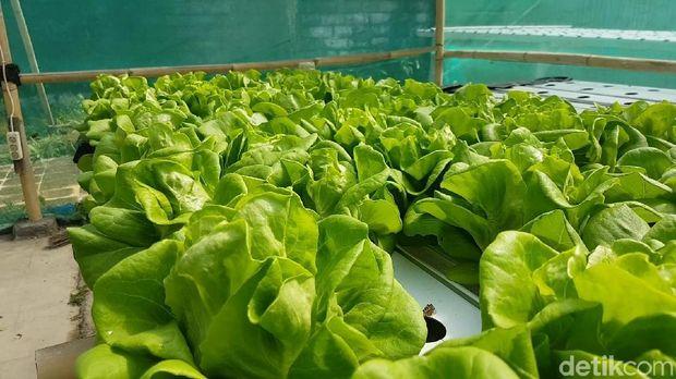 hidroponik adalah budidaya menanam sayuran atau tanaman tanpa media tanam konvensional atau melalui tanah
