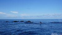 Rombolan lumba-lumba di Laut Banda (Syanti/detikTravel)