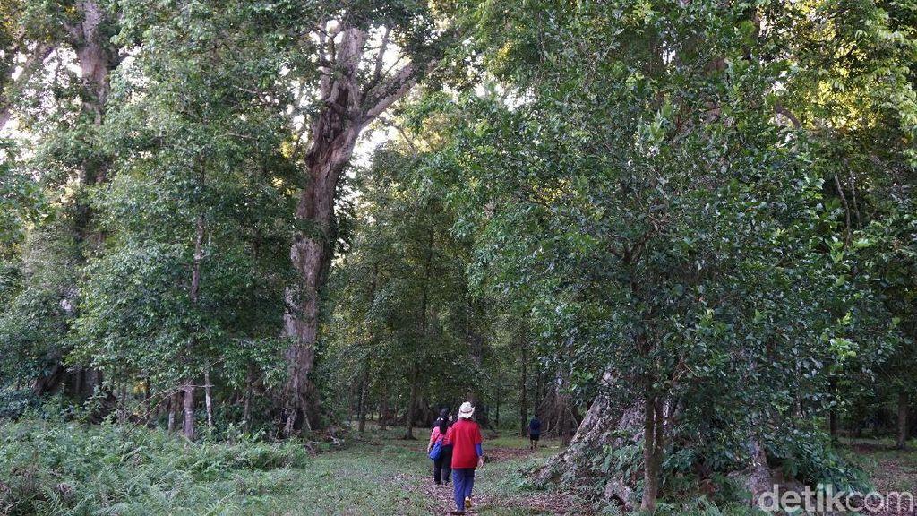 Berkunjung ke Kebun Pala Terbesar di Kepulauan Banda