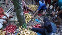 Penduduk sedang memanen buah pala (Syanti/detikTravel)