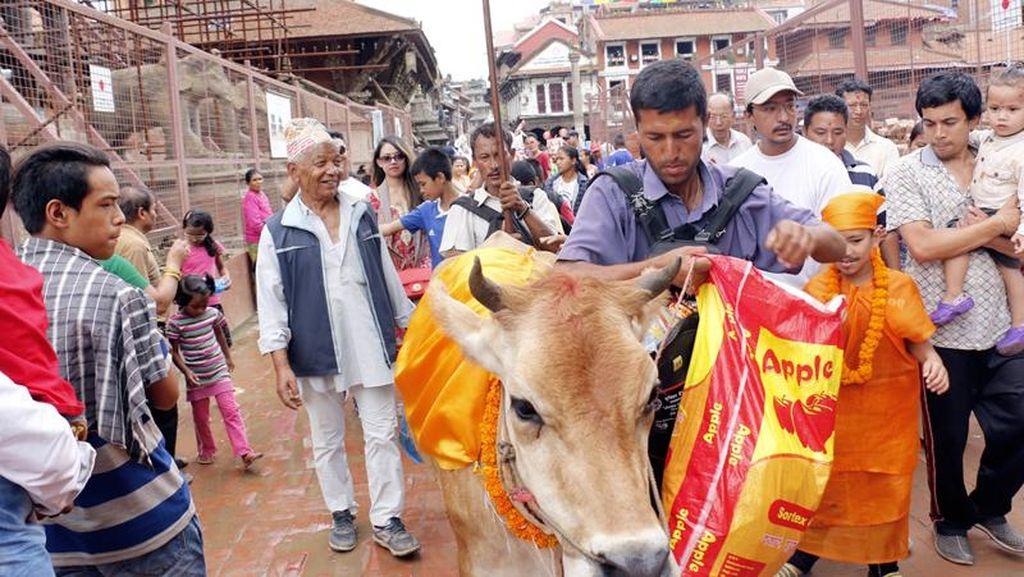 Di Nepal, Kematian Dimaknai Lewat Sapi