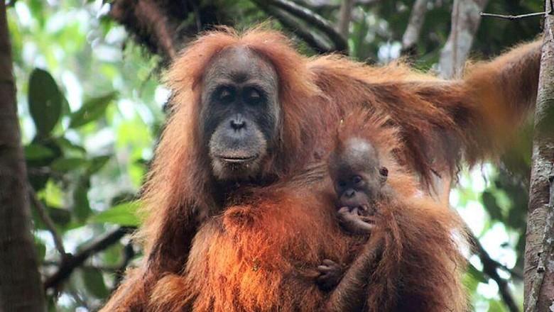 Tambang Martabe dan Isu Orangutan Tapanuli