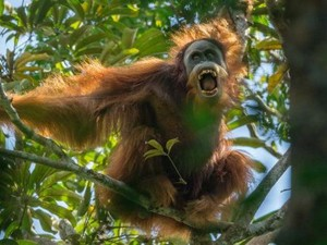 Spesies Baru Orangutan Tapanuli Ditemukan Hampir Punah