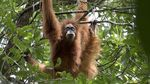 Ini Orangutan Tapanuli, Spesies Baru yang Langka dan Terancam Punah