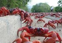 Ini yang paling dicari saat liburan di Pulau Natal, migrasi kepiting merah! (Christmas Island)