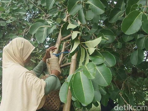wisata buah jamblang