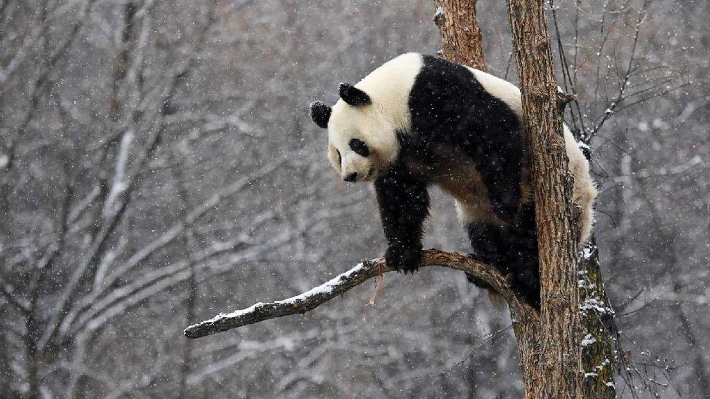 Panda Ketemu Salju, Gemesnya Kayak Gini