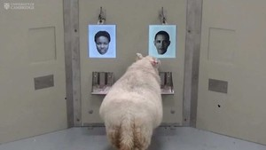Domba Bisa Mengenali Wajah Selebriti Seperti Obama