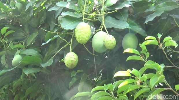 Aneh, Pohon Mangga di Kota Probolinggo ini Berbuah Mengkudu