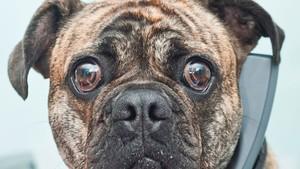 Parfum Khusus Untuk Anjing Terkenal dari Queensland