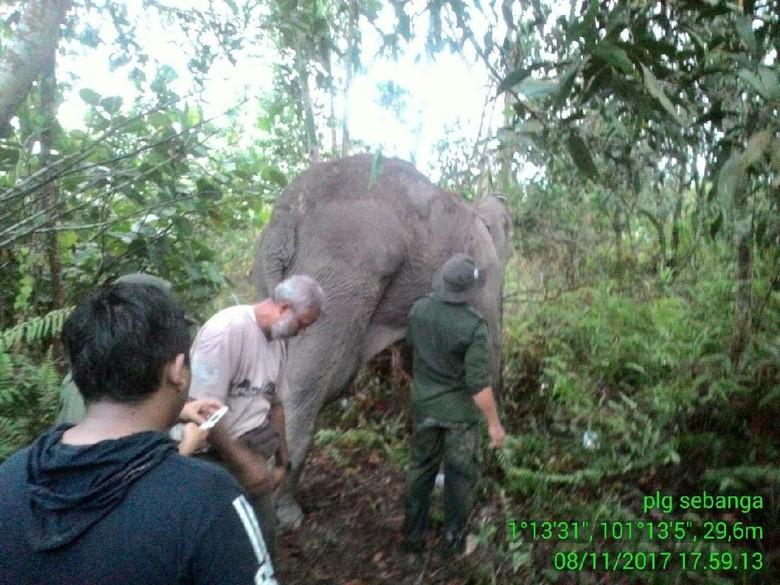 Kaki Terluka, Gajah Liar di Riau Jalani Perawatan Medis