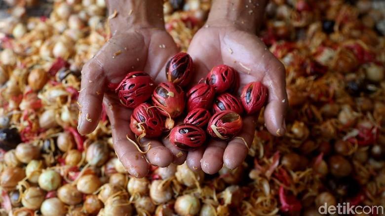 Petani tengah menjemur buah pala di kawasan Ciapus, Bogor. Harga buah pala disana relatif stabil.